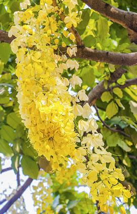 Sài Gòn tháng 4: Mùa hoa bọ cạp vàng 'gõ cửa' khung trời thành phố